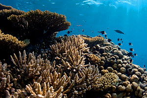 Hard, reef building corals (Acropora spp) and (Porites sp.) growing on shallow coral bommie. The Alternatives, Ras Mohammed, Sinai, Egypt. Red Sea.  -  Alex Mustard
