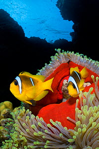 RF- Pair of Red Sea anemonefish (Amphiprion bicinctus) in Magnificent sea anemone (Heteractis magnifica), which has closed up in the late afternoon revealing its red skirt. St Johns Reef. Egypt. Red S... - Alex Mustard