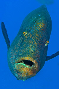 Adult male Napoleon wrasse (Cheilinus undulatus) swimming in open water adjacent to coral reef. Ras Mohammed Marine Park, Sinai, Egypt. Red Sea. Endangered species. - Alex Mustard