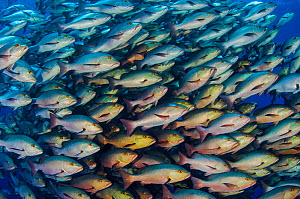 Large school of Bohar snappers (Lutjanus bohar) which have gathered in the summer in the Red Sea for spawning. Each fish is between 60 and 80cm long. Shark Reef, Ras Mohammed Marine Park, Sinai, Egypt... - Alex Mustard