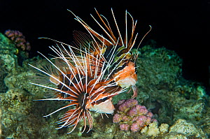 Clearfin Lionfish (Pterois radiata) courtship prior to mating. Here the larger male (behind) is attempting to coax the female to spawn. Taken around dusk, during the summer in the Red Sea. Abu Nuhas,...  -  Alex Mustard
