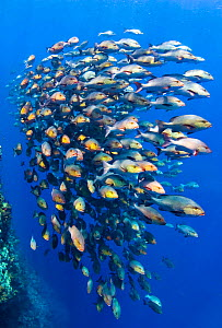 School of Bohar snappers (Lutjanus bohar), moving along the face of reef. These fish are up to 80cm in length and normally solitary, but have gathered in summer in spawning aggregation. Shark Reef, Ra... - Alex Mustard