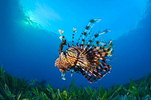 Lionfish (Pterois volitans) swimming over bed of seagrass at sunset. Ras Katy, Sinai, Egypt. Gulf of Aqaba, Red Sea.  -  Alex Mustard