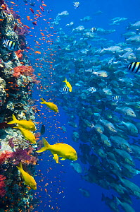 The vertical reef wall at Shark Reef, Ras Mohammed, with Scalefin anthias (Pseudanthias squamipinnis) and soft corals (Dendronephthya spp.) Yellowsaddle goatfish (Parupeneus cyclostomus) and school of...  -  Alex  Mustard