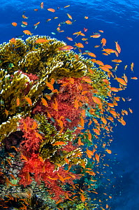 Busy coral reef community feeding on plankton, with Scalefin anthias (Pseudanthias squamipinnis), Soft corals (Dendronephthya sp.) and Fire corals (Millepora dichotoma), making up classic Red Sea scen...  -  Alex Mustard