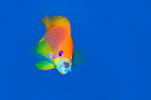 Portrait of female Scalefin anthias (Pseudanthias squamipinnis) feeding on zooplankton in open water. Ras Katy, Sinai, Egypt. Gulf of Aqaba, Red Sea. Manipulated - canvas rotation and extension. No ch... - Alex Mustard