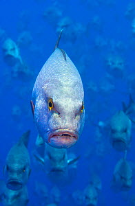Portrait of the, normally solitary Bohar snapper (Lutjanus bohar) in an annual spawning aggregation in June. Ras Mohammed Marine Park, Sinai, Egypt. Red Sea. - Alex  Mustard