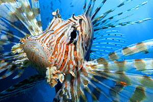 Close up portrait of female Lionfish (Pterois volitans) in the late afternoon, when Lionfish are more active. The Alternatives, Sha'ab Mahmood, Sinai, Egypt. Red Sea.  -  Alex  Mustard