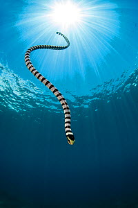 Yellow lipped sea snake (Laticauda colubrina) dives back down to the reef after surfacing for breath of air. Apo Island, Dumaguete, Negros, Philippines. Bohol Sea, Tropical West Pacific Ocean.  -  Alex  Mustard