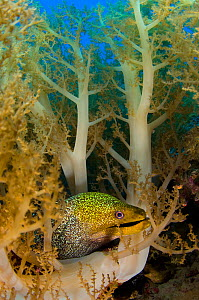 Undulated moray (Gymnothorax undulatus) moves through soft corals (Litophyton arboreum) Nuweiba, Sinai, Egypt. Gulf of Aqaba, Red Sea.  -  Alex Mustard