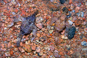 Pair of Seamoths / Little dragonfish (Eurypegasus draconis) moving across pebbly seabed in shallow water. The larger male is on the left. Dahab, Sinai, Egypt. Gulf of Aqaba, Red Sea.  -  Alex Mustard