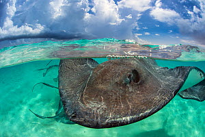 Southern stingray (Hypanus americanus) at the surface. Stingray City, Grand Cayman, Cayman Islands, British West Indies. Caribbean Sea. Bait was used for this shot.  -  Alex Mustard