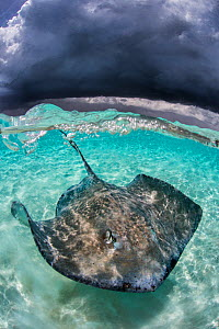 Large female Southern stingray (Hypanus americanus) in shallow water, under storm clouds, Stingray City, Grand Cayman. Stingray City is feeding site for stingrays and bait was used on this shoot. Caym...  -  Alex Mustard