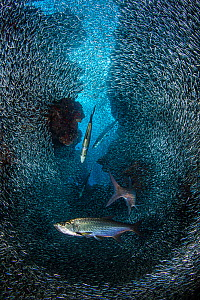 RF- Group of Tarpon (Megalops atlanticus) hunting school of Silversides (Atherinidae) in coral cavern. East End, Grand Cayman, Cayman Islands, British West Indies. Caribbean Sea. (This image may be li... - Alex Mustard
