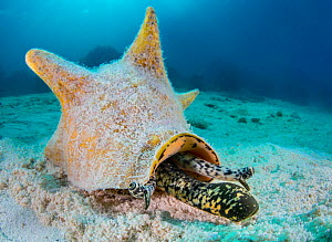 Queen conch (Strombus gigas) extending its proboscis and stalked eyes at it moves across the sand by coral reef. East End, Grand Cayman, Cayman Islands, British West Indies. Caribbean Sea.  -  Alex Mustard