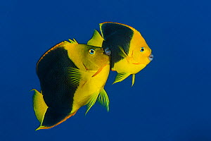 RF- Pair of Rock beauties (Holacanthus tricolor) spawning at dusk. The larger male rubs against the flank of female during the spawning rise. Cayman Islands, British West Indies. Caribbean Sea. (This... - Alex Mustard