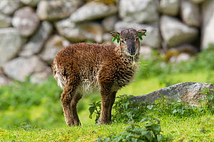 Soay sheep (Ovis aries) lamb nibbles on grass beside a mossy stone. St Kilda, Outer Hebrides, Scotland. May. - Brent  Stephenson
