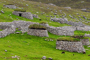 Soay sheep (Ovis aries) feed amongst the cleats and stone walls on the main island of Hirta. St Kilda, Outer Hebrides, Scotland. June. - Brent  Stephenson