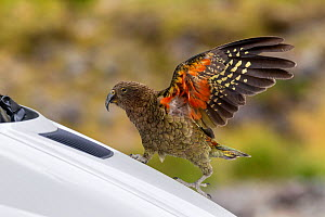 Juvenile Kea (Nestor notabilis) playing on the front of a car in a car park, with raised wings showing the red underwing. Homer Tunnel, Fiordland National Park, New Zealand, February. Vulnerable speci...  -  Brent  Stephenson