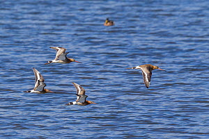 Four black-tailed godwit (Limosa limosa) in flight over a pond, showing upper and underwing pattern. Tresco, Isles of Scilly, United Kingdom. August.  -  Brent  Stephenson