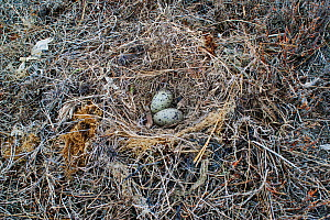 Nest of a Kelp gull (Larus dominicanus) containing two eggs. Westshore, Hawkes Bay, New Zealand, November.  -  Brent  Stephenson