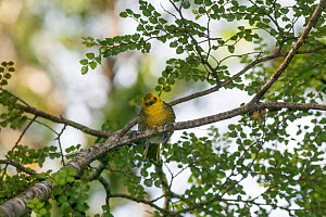 Juvenile Yellowhead (Mohoua ochrocephala) peering down from a perch amongst foliage in the forest sub-canopy. Haast Pass, West Coast, New Zealand, January. Endangered species.  -  Brent  Stephenson