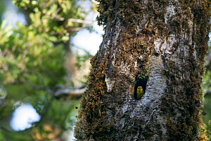 Adult female Yellowhead (Mohoua ochrocephala) peering out from the entrance to its nest in a beech (Nothofagus) tree. Haast Pass, West Coast, New Zealand, January. Endangered species.  -  Brent  Stephenson