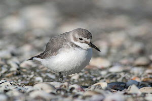 Immature Wrybill (Anarhynchus frontalis) resting on one leg a shelly beach. Note the curved bill (always to the right) diagnostic of this species. Miranda, Auckland, New Zealand, September. Vulnerable... - Brent  Stephenson