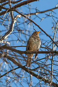 Adult male Song thrush (Turdus philomelos) in full song amongst the branches of a birch tree. Havelock North, Hawkes Bay, New Zealand, September. - Brent  Stephenson