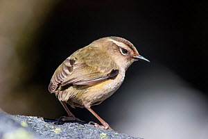 Female South Island / Rock wren (Xenicus gilviventris) perched on a rock in the alpine zone. Homer Tunnel, Fiordland National Park, New Zealand, December. Vulnerable species.  -  Brent  Stephenson