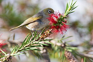 Adult female Silvereye (Zosterops lateralis) feeding on nectar, with worn plumage. Christchurch, Canterbury, New Zealand, December. - Brent  Stephenson