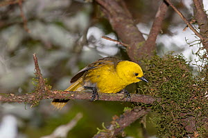 Adult male Yellowhead (Mohoua ochrocephala) peering into moss whilst foraging. Haast Pass, West Coast, New Zealand, January. Endangered species.  -  Brent  Stephenson