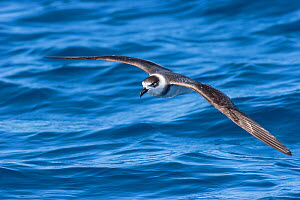 White-naped petrel (Pterodroma cervicalis) in flight over the sea, showing the prominent white collar. Tolaga Bay, East Coast, New Zealand, February. Vulnerable species. - Brent  Stephenson
