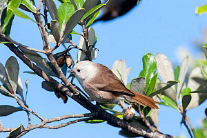 Adult male Whitehead (Mohoua albicilla) in fresh plumage, foraging in the outer branches of a shrub. Tiritiri Matangi Island, Auckland, New Zealand, July.  -  Brent  Stephenson