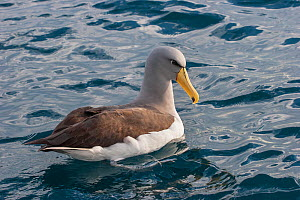 Adult Chatham albatross (Thalassarche eremita) sitting on the water showing the diagnostic yellow bill with dark tip. Off Gisborne, East Coast, New Zealand, August. Vulnerable species.  -  Brent  Stephenson