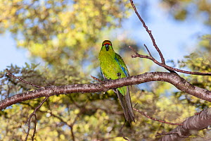 Adult Yellow-crowned parakeet (Cyanoramphus auriceps) perched in a tree, showing the yellowish belly and forehead. Hawdon Valley, Canterbury, New Zealand, January.  -  Brent  Stephenson