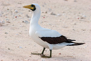 Adult Masked booby (Sula dactylatra) standing on a coral rubble shoreline. Wreck Reef, Great Barrier Reef, Australia. March. - Brent  Stephenson