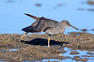 Adult Wandering tattler (Tringa incana) in non-breeding plumage, stretching its wing. Papeete, Tahiti, French Polynesia. October.  -  Brent  Stephenson