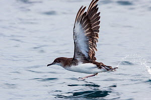 Fluttering shearwater (Puffinus gavia) taking off from the surface of the sea, showing the underwing and worn feathers at the end of the breeding season. Hauraki Gulf, Auckland, New Zealand, February. - Brent  Stephenson