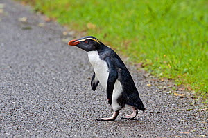 Fiordland crested penguin (Eudyptes pachyrhynchus) crossing road heading back to sea. Jackson Bay, West Coast, New Zealand, February. Vulnerable species. - Brent  Stephenson