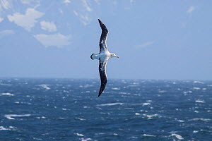 Adult Wandering albatross (Diomedea exulans) in flight against a windswept sea and the rugged coastline of South Georgia. South Atlantic. March. Vulnerable species.  -  Brent  Stephenson