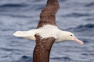 Adult Northern Royal albatross (Diomedea sandfordi) in flight at sea, showing the upperwing pattern and black cutting edge on the bill diagnostic of Royal albatross. Off North Cape, New Zealand, April...  -  Brent  Stephenson