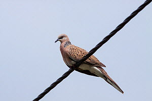 Adult Spotted dove (Streptopelia chinensis) perched on a powerline against a blue sky. Cairns, Queensland, Australia. April. - Brent  Stephenson