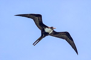Adult female Lesser frigatebird (Fregata ariel) in flight against a blue sky, showing the underwing and typical breast pattern. Gaferut Atoll, Federated States of Micronesia, Pacific. April.  -  Brent  Stephenson