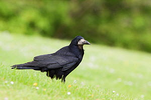 Immature Rook (Corvus frugilegus) with worn juvenile flight feathers, perched on the ground amongst short grass. Reading, United Kingdom. May.  -  Brent  Stephenson