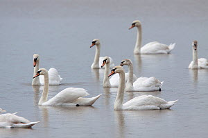 Group of Mute swans (Cygnus olor) swimming across a pond, most of them in eclipse plumage. First and third birds from the right are immatures, note the grey wash to the head. Coombe Hill Meadows, Glou...  -  Brent  Stephenson