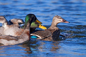 Two male Mallards (Anas platyrhynchos) chasing a female during courtship. Waikanae Estuary, Wellington, New Zealand, August. Introduced species in New Zealand. - Brent  Stephenson