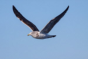 Immature Kelp gull (Larus dominicanus) in flight against a blue sky. This is a second year bird, moulting into adult plumage. At sea off Wanganui, New Zealand, August.  -  Brent  Stephenson