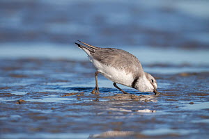 Adult female Wrybill (Anarhynchus frontalis) feeding with its uniquely curved bill (always to the right). Females have a narrower breast band and paler forehead than males. Manawatu Estuary, Manawatu,... - Brent  Stephenson
