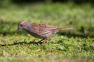 Dunnock (Prunella modularis) feeding amongst short grass. Havelock North, Hawkes Bay, New Zealand, September. Introduced species in New Zealand.  -  Brent  Stephenson